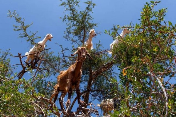 Lo sapevi che | Mamma guarda, una capra sull'albero!