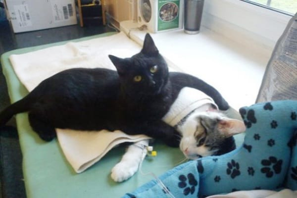 Radamenes, il gatto infermiere che aiuta gli animali malati.