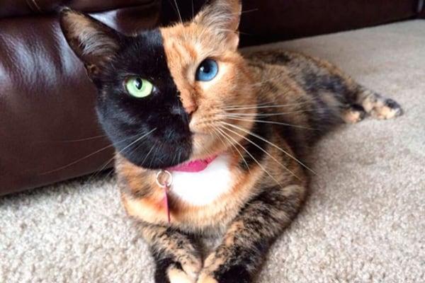 Venus, la gatta-chimera bicolore