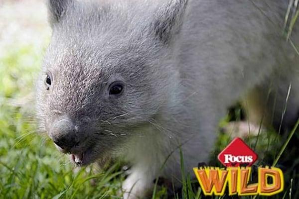 Curiosità animali | Alla scoperta del rarissimo vombato bianco!