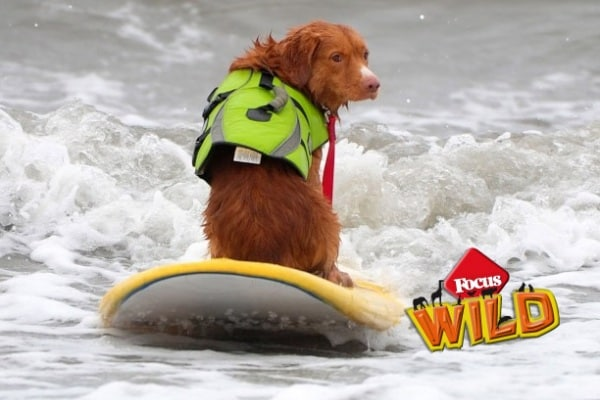 Curiosità animali: Gara di surf per cani! | Focus Wild