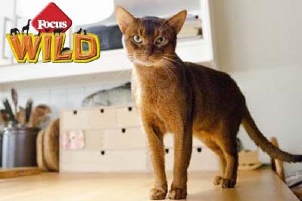 Curiosità animali: Il gatto più bello del mondo | Focus Wild