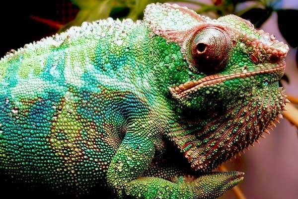 Come fanno i camaleonti a cambiare colore?