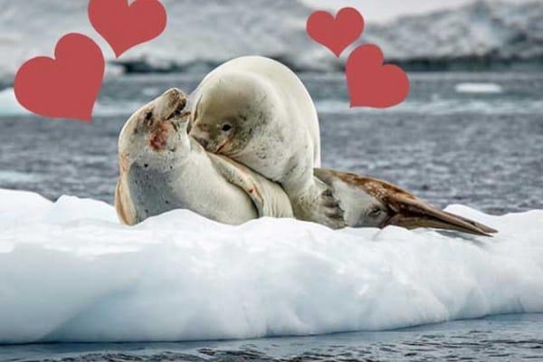 Le foche in amore disturbate da un pinguino indiscreto. Fotostory