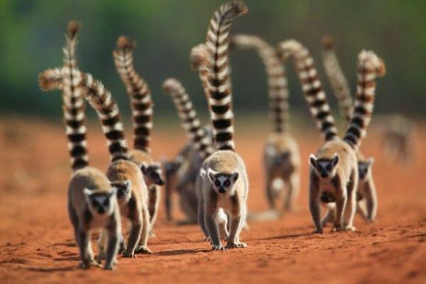 Lemure catta, il primate che vive solo in Madagascar