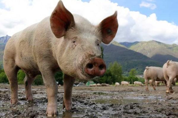 """Perché si dice """"sei sporco come un maiale""""?"""