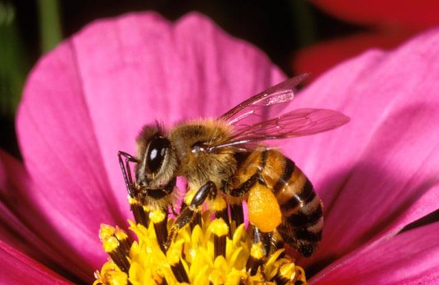 L'ape, un esempio di laboriosità!