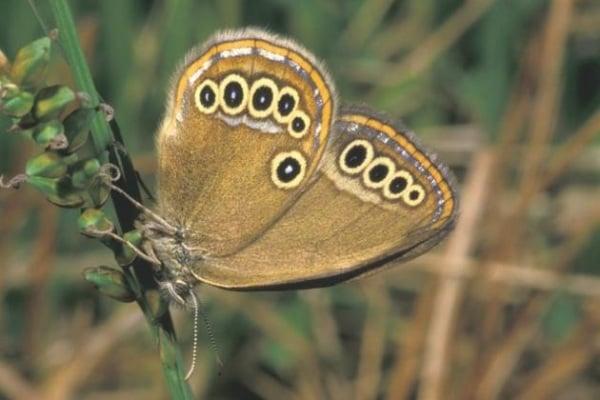 Le farfalle italiane sono in pericolo!