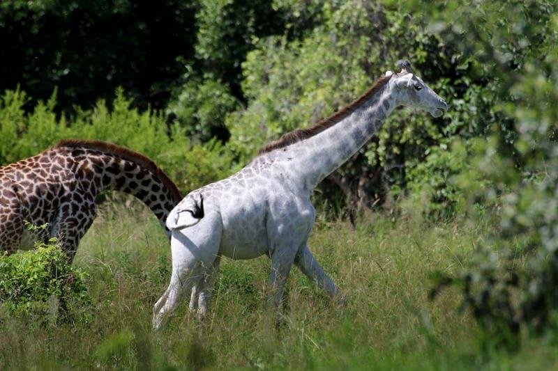 Omo, la giraffa albina!