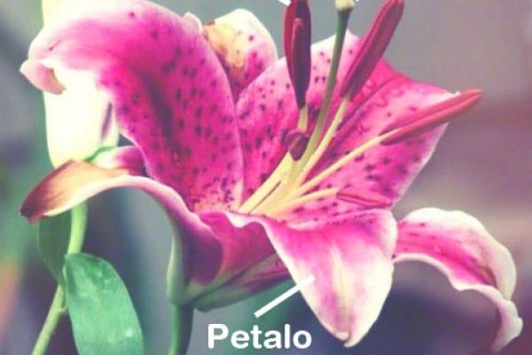 Stami, polline, pistillo: i fiori dentro ai fiori