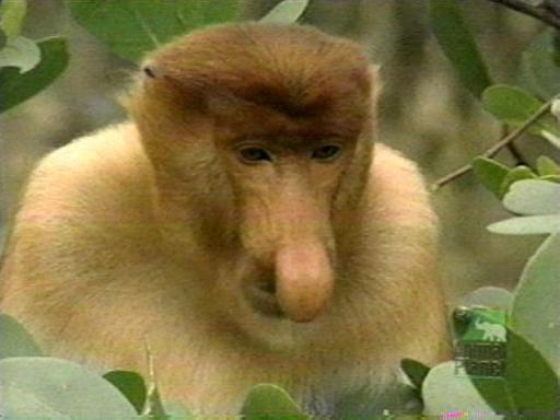Animali | Nasica, la scimmia con il naso più lungo al mondo!