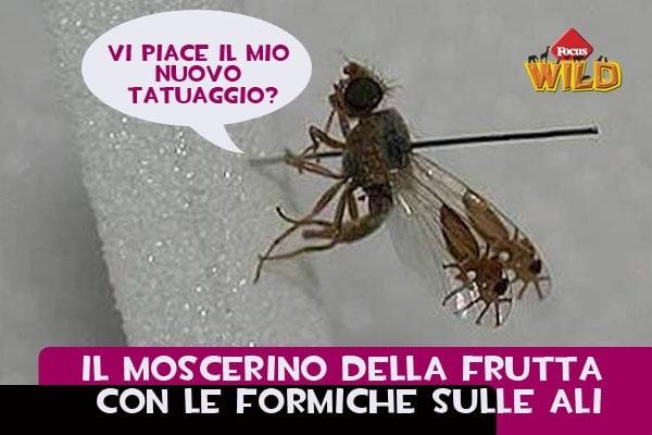 Curiosità animali: il moscerino della frutta con le formiche tatuate Focus Wild