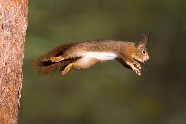 Lo scoiattolo rosso