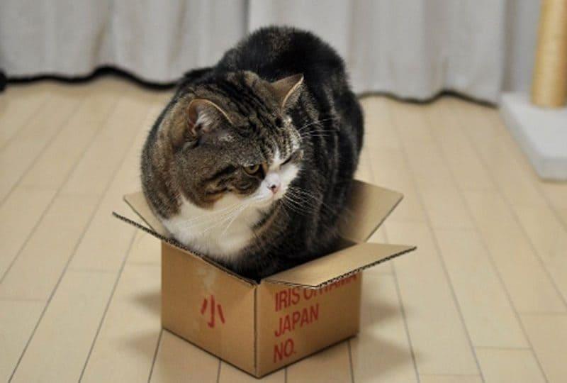 Maru, il gatto giapponese che sfida le scatole!