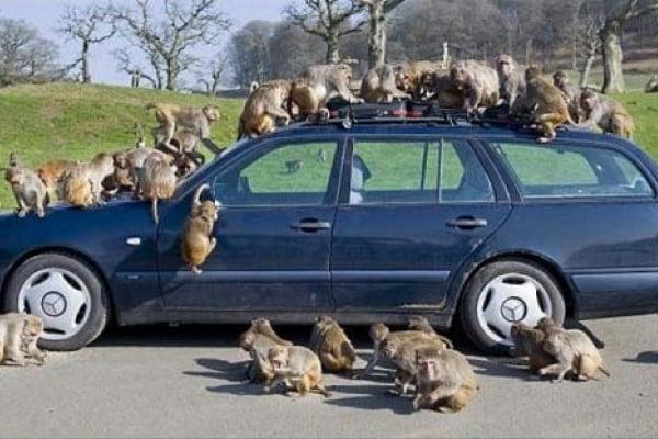 Scimmie all'attacco! Quando la curiosità è distruttiva