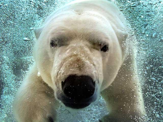 Tutti a nuotare con l'orso polare… con il trucco.