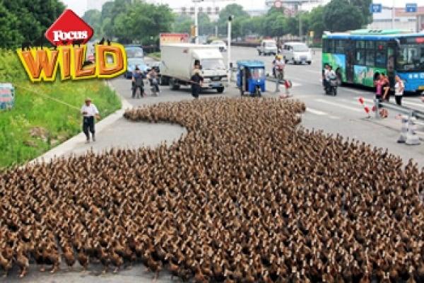 Curiosità animali: L'invasione delle anatre in Cina | Focus Wild