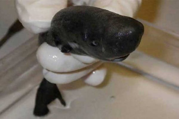Scoperto un piccolissimo squalo che assomiglia a una mini-balena!