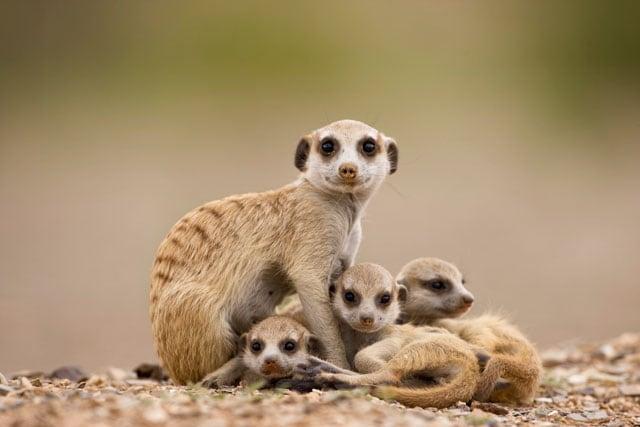 Risultati immagini per suricato