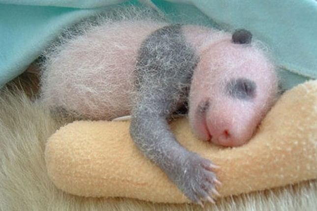 Natura sorprendente | Come cresce un panda