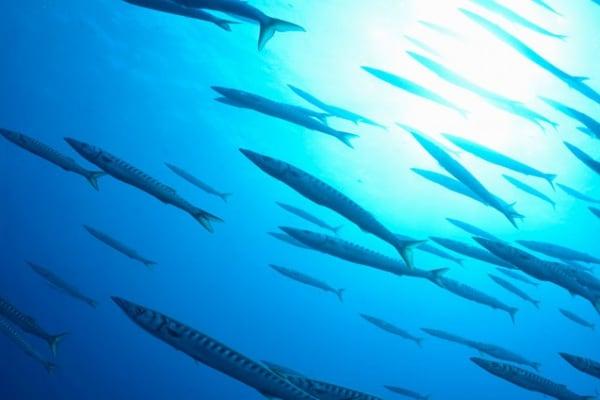 Il temibile barracuda: fatti e curiosità!