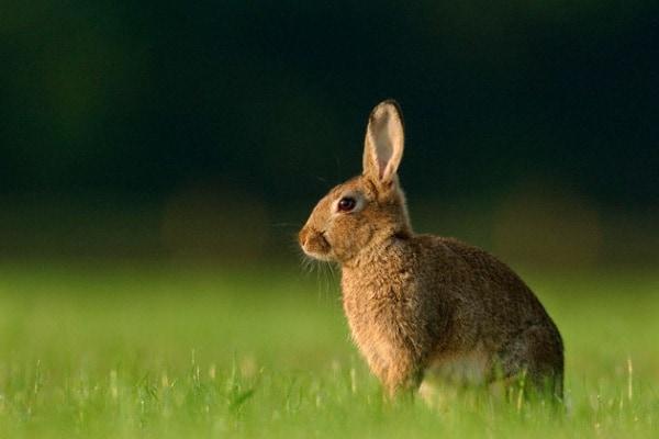 Il coniglio selvatico europeo