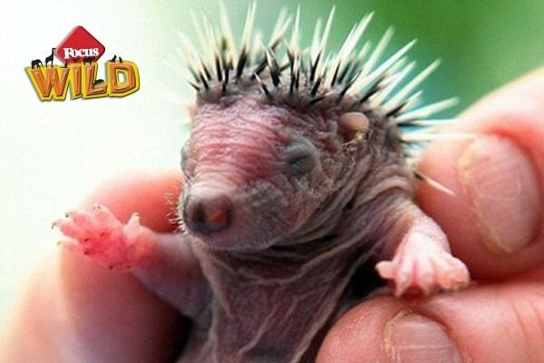 Curiosità animali: Honey, il riccio neonato | Focus Wild