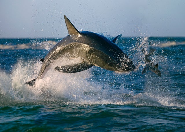 Nato per cacciare: lo squalo bianco!