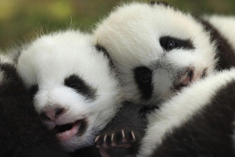 Curiosità animali: i panda del 2011 | Focus Wild