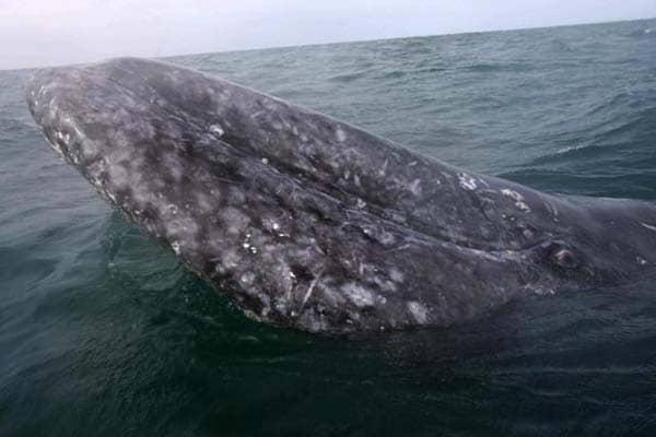 """Cosa sono le """"incrostazioni"""" sulla pelle delle balene?"""