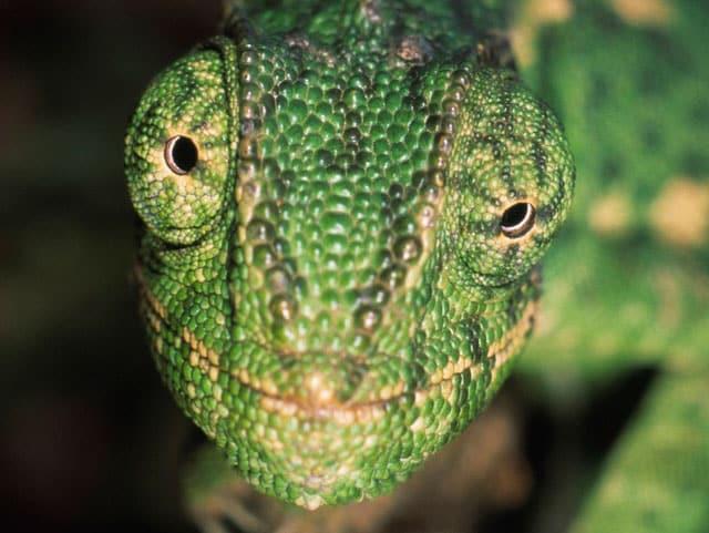 Il camaleonte comune