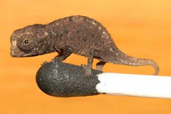 Record | Il camaleonte più piccolo del mondo