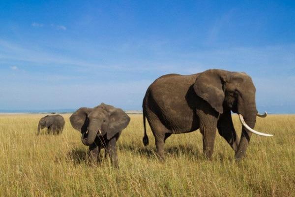 Gli elefanti sono in pericolo: faranno la fine dei dinosauri?