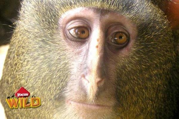 Il lesula, la scimmia dal volto umano è stata scoperta in Congo