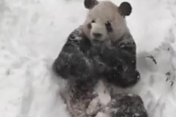 Il panda Tian Tian gioca con la neve