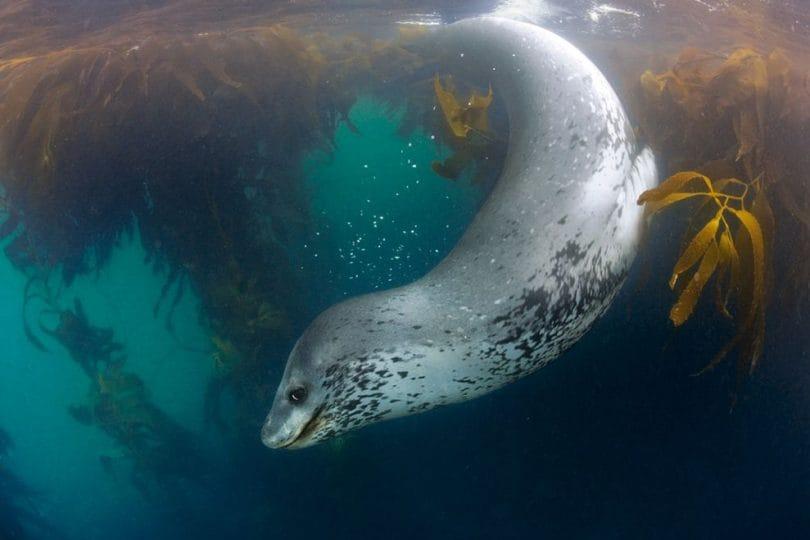 Tenera come una foca, feroce come il leopardo!