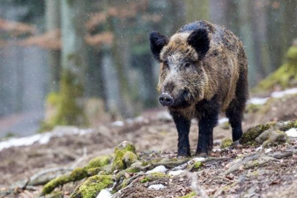 Animali del bosco: Il cinghiale