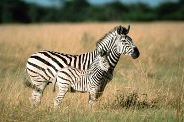 Le strisce più famose della savana: la zebra di Burchell