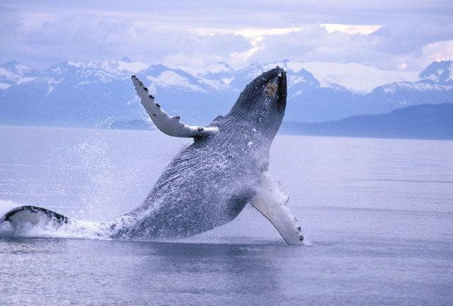 Giganti del mare | La megattera