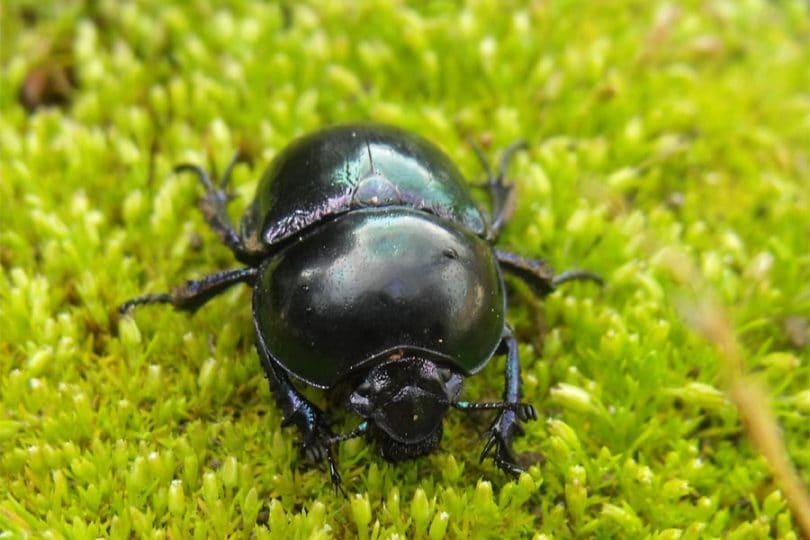Curiosità animali: Lo scarabeo stercorario | Focus Wild