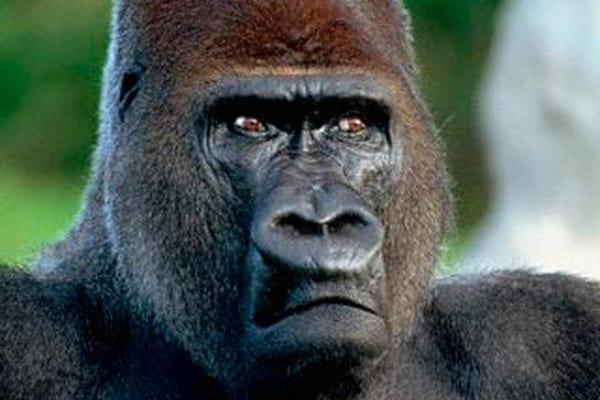 Esiste la prova che discendiamo dalle scimmie?