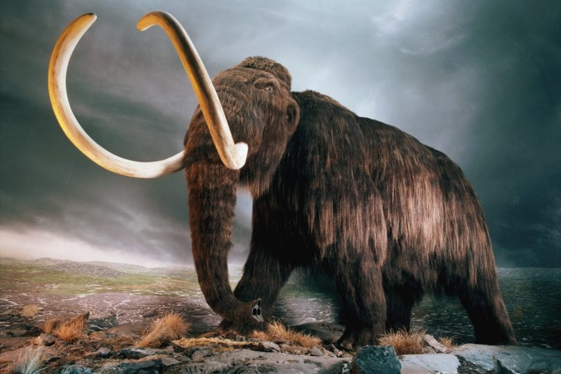 Curiosità animali: Mammut vivo nel 2012!