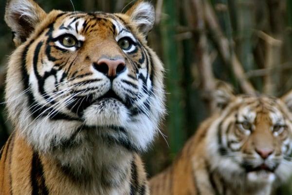 La tigre, la potente regina d'Asia!