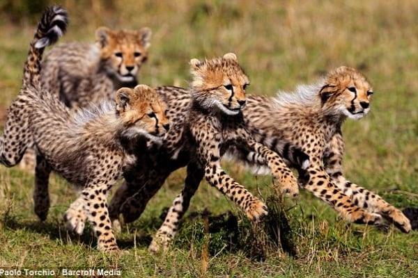 Cuccioli e mamme: piccoli ghepardi crescono. Guarda le foto!