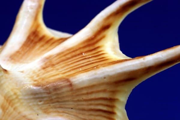 Bivalvi, gasteropodi e scafopodi: tutto sulle conchiglie e i loro molluschi! Seconda parte