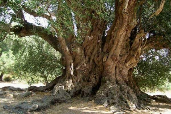 Lo sapevi che | Qual è l'albero più antico d'Italia? E del mondo?