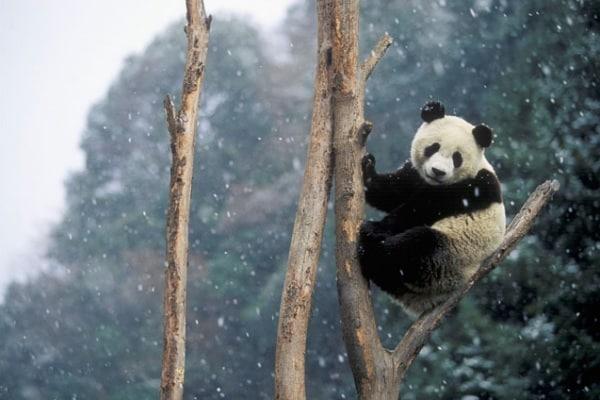 Il panda gigante, un orso molto particolare