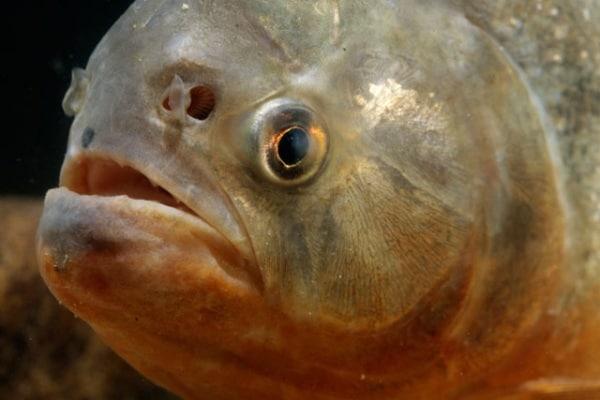 Il famelico Piranha Rosso!