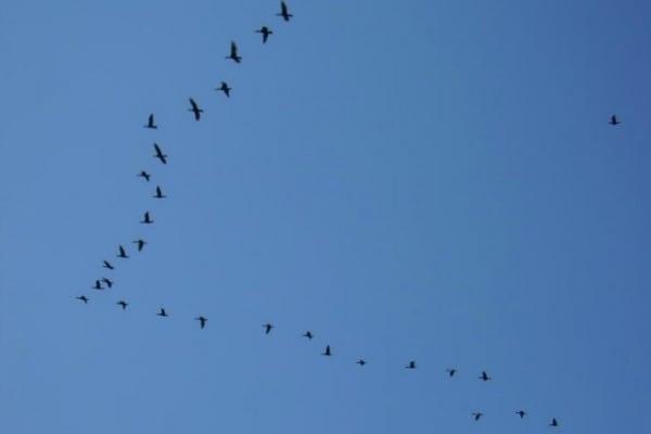 """Perché gli stormi di uccelli volano formando una """"V""""?"""