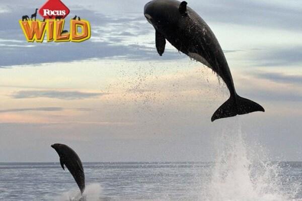 Curiosità animali: la straordinaria foto sequenza dell'attacco di un'orca a un delfino | Focus Wild